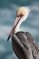 I took a picture of the bright colors of this young Brown Pelican in La Jolla. The bluish Pacific Ocean acts as a nice backdrop.