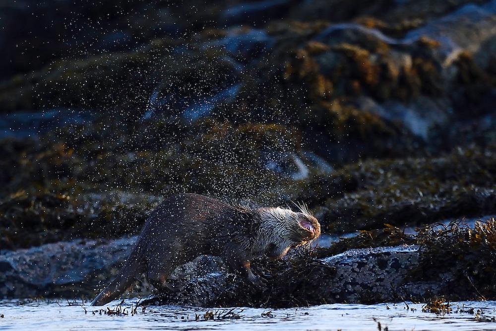 European otter, Lutra lutra, eating a fish, Flatanger, Nord-Tröndelag, Norway