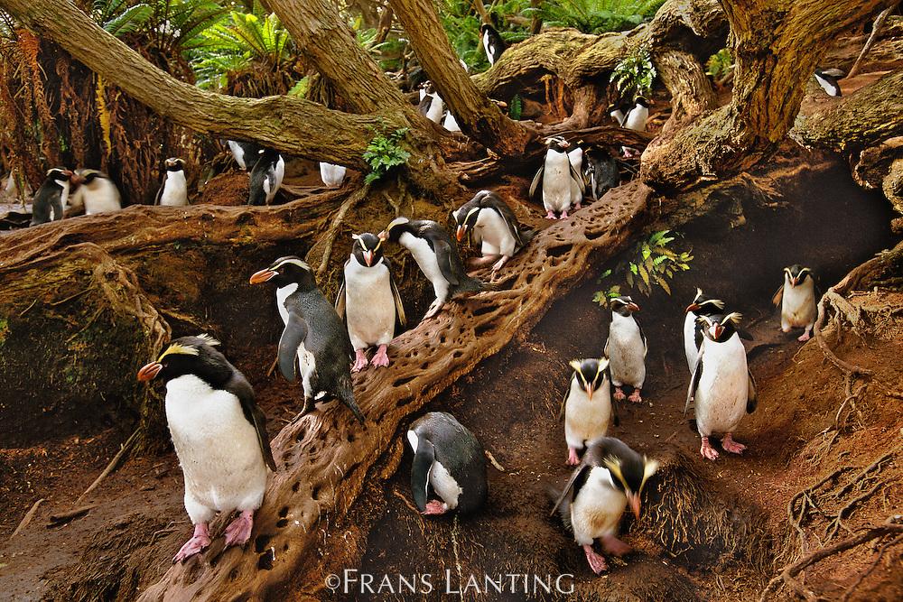 Snares crested penguins in forest, Eudyptes robustus, Snares Islands, New Zealand