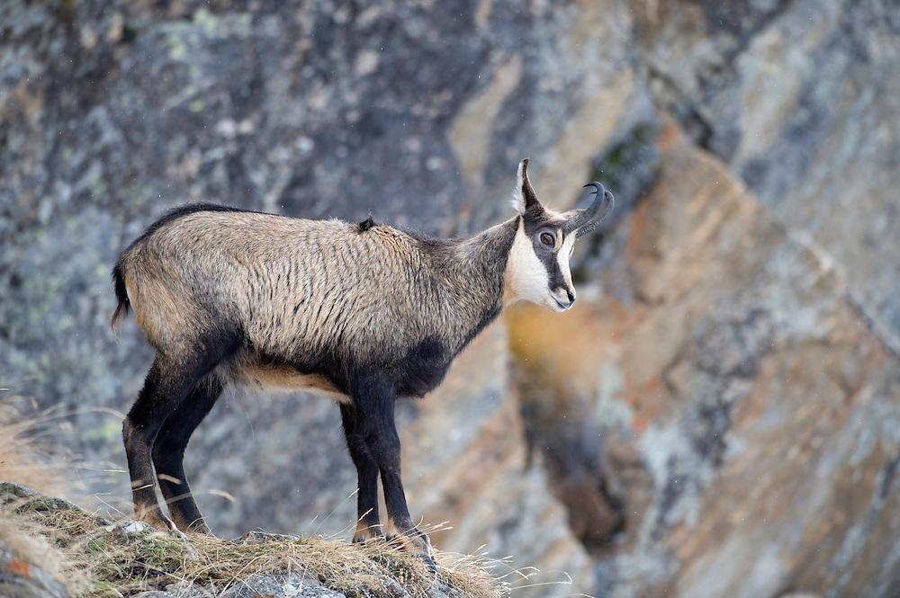 02.11.2008.Chamois (Rupicapra rupicapra).Gran Paradiso National Park, Italy