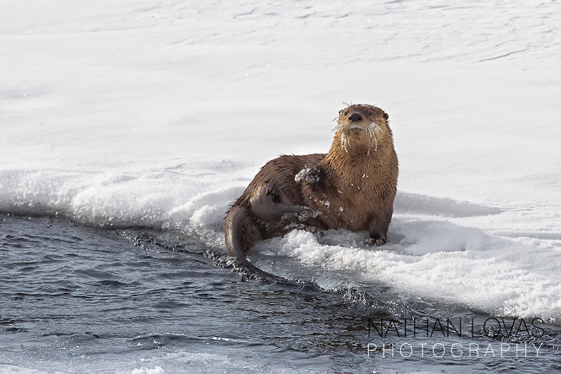 Otter on snowy bank of river; Yellowstone NP in wild.