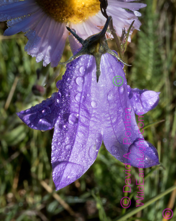 Bluebell and aster with dew in the grassland of the Valle Grande, Valles Caldera National Preserve, © 2017 David A. Ponton