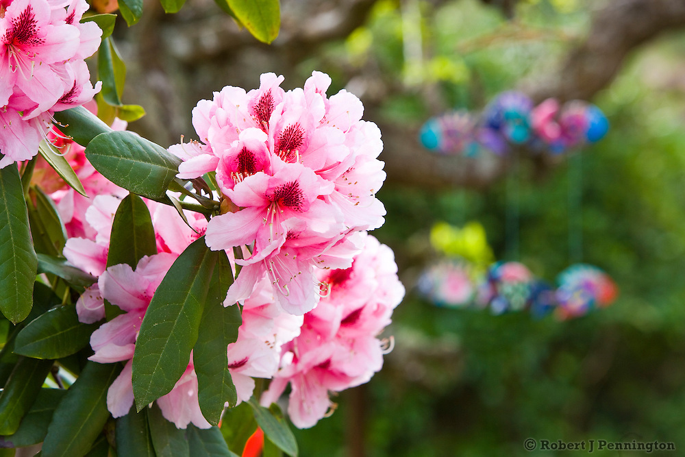 A gorgeous display of pink Rhododendron blossoms in a garden setting.