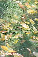 Autumn White Ash leaves