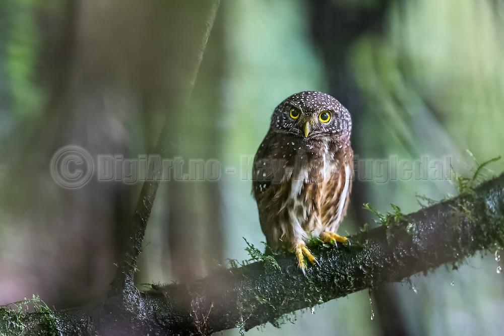 The cloud-forest pygmy owl is a species of owl in the Strigidae family. It is found in Colombia and Ecuador. There are only an estimated 2,500-9,999 birds left. Its natural habitat is subtropical or tropical moist montane forests| Neblinauglen finner man i Colombia og Ecuadore. Der finnes bare 2500-9999 fugler igjen i verden. Det naturlige habitatet er subtropisk, eller tropisk fuktig fjellskog.
