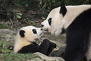 Giant Panda<br /> Ailuropoda melanoleuca<br /> Mother and 6-8 month-old cub<br /> Chengdu Research Base of Giant Panda Breeding, Chengdu, China<br /> *captive