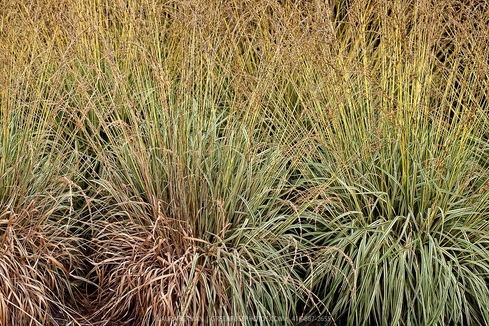 Variegated Moor grass in flower (Molinia caerulea 'Variegata')
