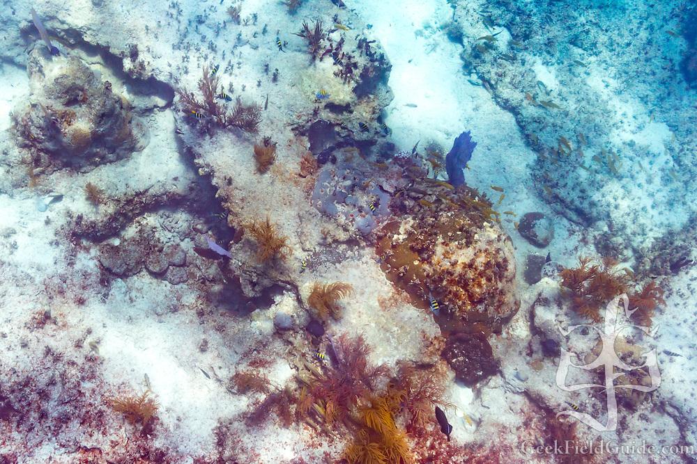 Purple sea fan (Gorgonia ventalina), and Sergeant Major (Abudefduf saxatilis) fish on the coral reef.