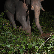 The Asian or Asiatic elephant (Elephas maximus) is the only living species of the genus Elephas and is distributed in Southeast Asia from India in the west to Borneo in the east.