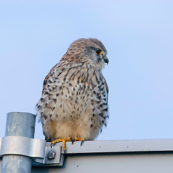 Roofvogels, Birds of Prey