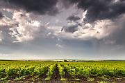 A vineyard after a rain
