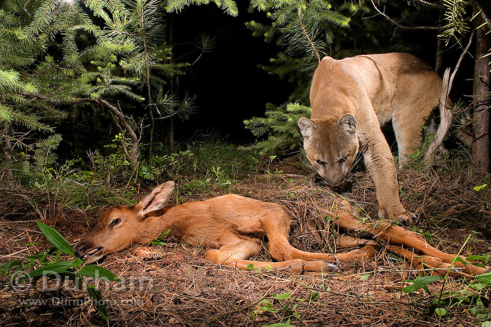 A wild cougar (Puma concolor) uncovers a  young elk (Cervus elephus nelsoni) calf that it killed and covered with debris earlier. <br /> <br /> This image was taken during the Oregon Division Of Fish And Wildlife's controversial Cougar Management Plan.<br /> <br /> Cougars will often cache prey after the kill, and then return to feed later. A motion-sensing camera photographed this cat returning for a meal.<br /> <br /> Please note: This image has been digitally altered. Ear tags and a radio collar placed on the cat by biologists were digitally removed from this image. Original file available upon request.