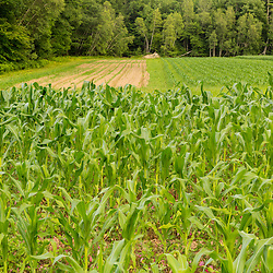 Corn field on a farm in Epping, New Hampshire.