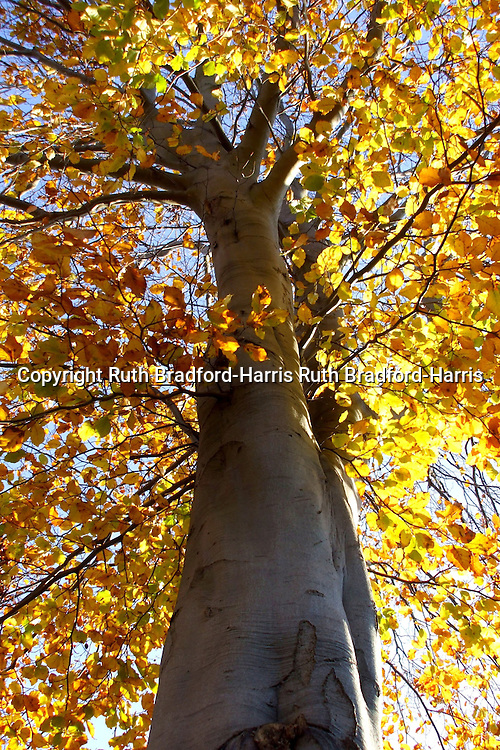 Sunlight illuminates the incandescent, golden Autumn leaves of a mature British native Beech tree (Fagus sylvatica).<br />