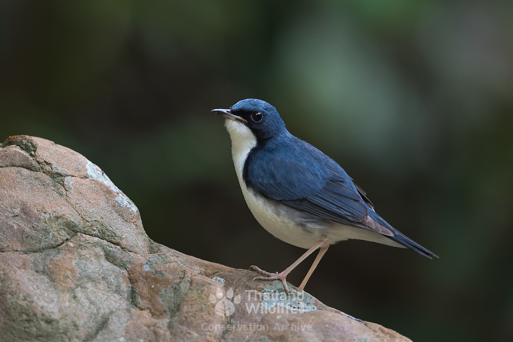 The Siberian blue robin (Larvivora cyane) is a small passerine bird that was formerly classified as a member of the thrush family, Turdidae, but is now more generally considered to belong to the Old World flycatcher family, Muscicapidae.