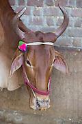 A cow on Shantilal's farm in Madhya Pradesh, India.