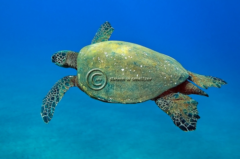 Green Sea Turtle, Chelonia mydas, Linnaeus 1758, off coast of Lanai, Hawaii near Little Cathedrals dive site.