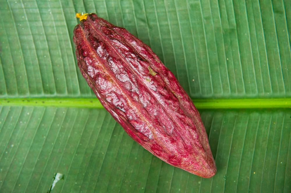 The cocoa bean, also cacao bean ( Theobroma cacao), Plantation Roca Monte Cafe, Sao Tome, Sao Tome and Principe, Atlantic ocean