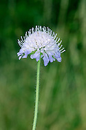FIELD SCABIOUS Knautia arvensis (Dipsacaceae) Height to 75cm. Robust, hairy biennial or perennial of dry grassland. FLOWERS are bluish violet and borne in heads, 3-4cm across, outer flowers larger than inner ones (Jun-Oct). FRUITS are dry and papery. LEAVES comprise lobed, spoon-shaped basal ones in a rosette and less-divided stem leaves. STATUS-Widespread and common, except N Scotland.