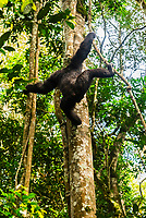 """Chimpanzee climbing down from a tree, Kibale Forest National Park, Uganda. Known as """"The Primate Capital of the World"""" Kibale has the largest number of primates of any national park in the world."""