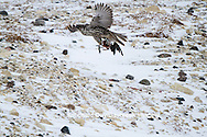 00817-00606 Gyrfalcon (Falco rusticolus) dark phase with prey Churchill Wildlife Management Area Churchill MB