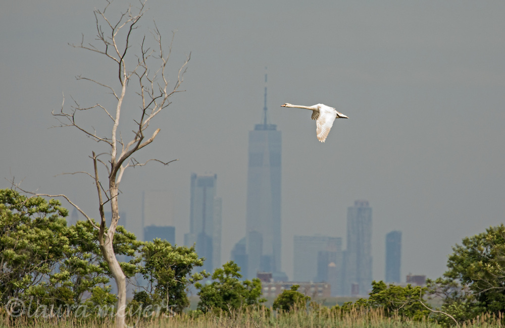Mute Swan in flight over the West Pond of the Jamaica Bay Wildlife Refuge with lower Manhattan in the background.