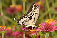 Giant Swallowtail (Papilio cresphontes)<br /> TEXAS: Victoria Co.<br /> Victoria<br /> 15.Nov.2009<br /> J.C. Abbott