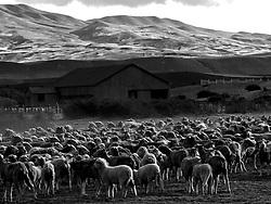 Patagonia, Argentina,  01 / 2004.Estancia Rincon, de criacao de ovinos na Patagonia Argentina, proxima a cidade de El Calafate./ Rincon Ranch, raising ovines in Patagonia, Argentina, near El Calafate city..Foto Marcos Issa/Argosfoto