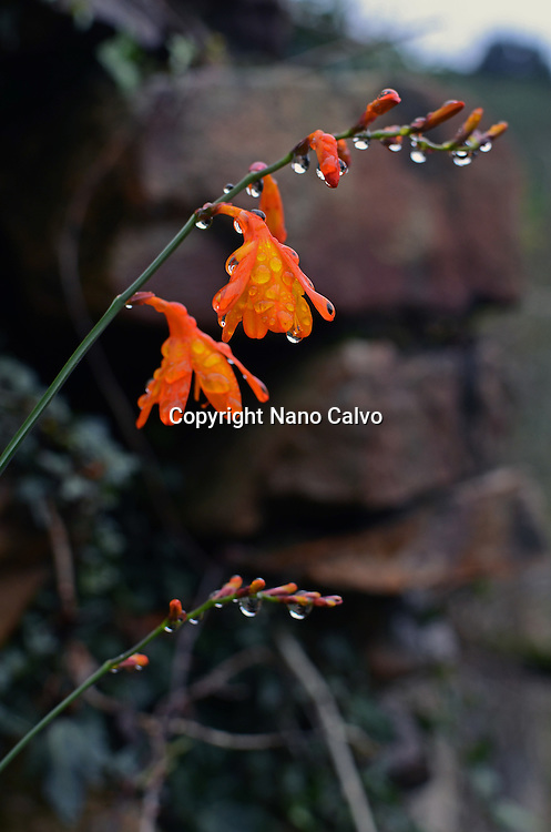 Raindrops cover orange flowers in Torre forest, Ribadesella