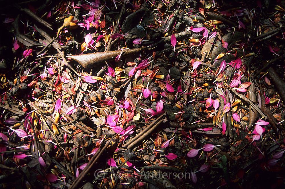 Pink flower petals on a rainforest floor, Tai Po Kau Nature Reserve, Hong Kong, China.