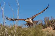 Ferruginous hawk in flight over desert vegetation in the Sonoran Desert, AZ. Powerful down stroke of wings bends primary feathers upward and gives lift and forward thrust. © 2012 David A. Ponton