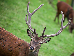 THEMENBILD - ein Hirsch in einem Gehege am Riedberg im Zillertal // a stag is seen in a enclosure in Riedberg, Austria on 2017/07/28. EXPA Pictures © 2017, PhotoCredit: EXPA/ Jakob Gruber