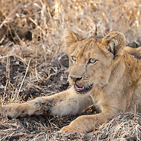Two year old male lion cub resting