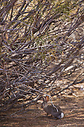 A Desert Cottontail rabbit (Sylvilagus audubonii) at the Sonny Bono Salton Sea National Wildlife Refuge, CA.