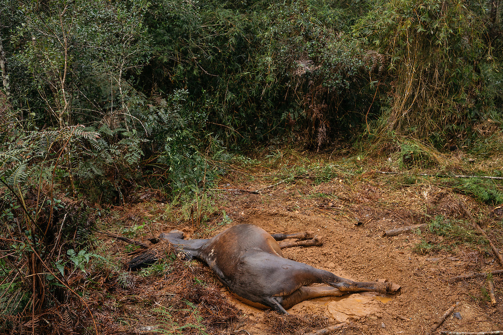 A dead mule lies in a dirt patch after passing away in the middle of the night from unknown circumstances, forcing the ornithologists to move their campsite.