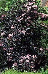 Sambucus nigra 'Black Beauty' syn. S.nigra f. porphyrophylla 'Gerda' - elder