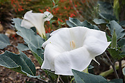 A Datura flower blooms in the White Mountains, Inyo National Forest, near Big Pine, California, USA. The Datura genus is in the Potato (Solanaceae) Family, also known as the Deadly Nightshade Family. Its large, white, trumpet-shaped flowers bloom March through November. Corollas are up to 6 inches long, have 5 teeth and are often tinged with purple or lavender around the edges. The flower opens after dusk then closes by mid-morning.