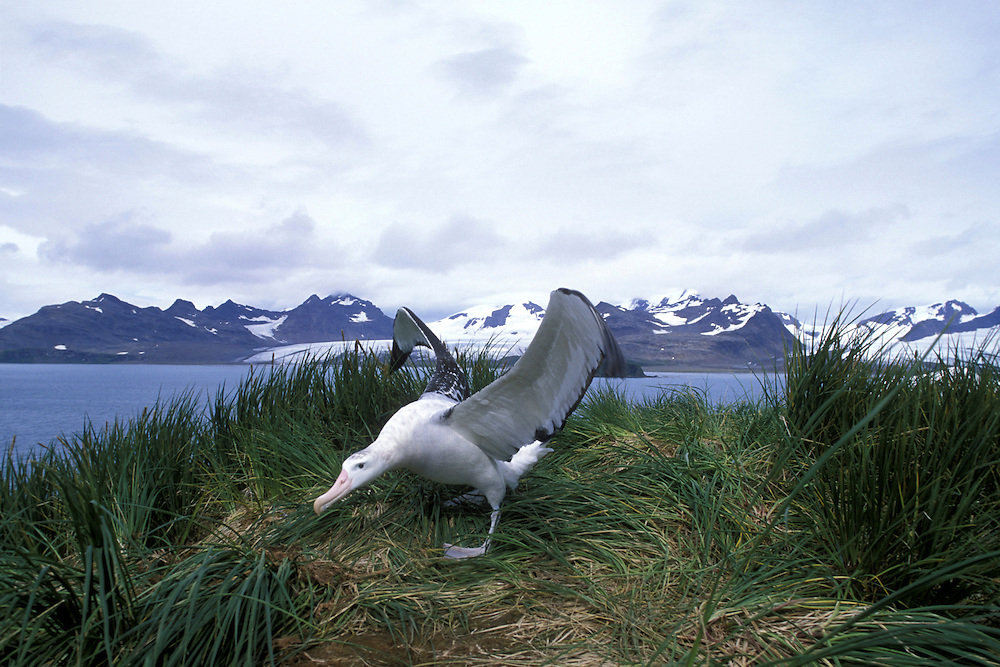 South Georgia Island, Wandering Albatross (Diomedea exulans) spreads wings in tall  grass on Albatross Island