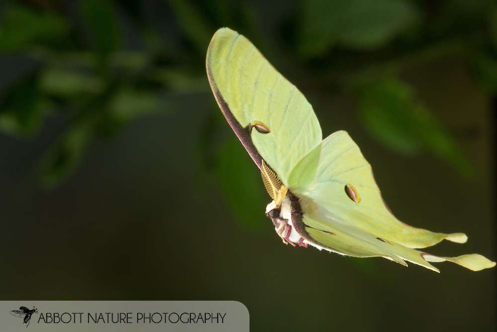 Luna Moth (Actias luna) - male flying<br /> reared individual<br /> 25-May-2015<br /> J.C. Abbott &amp; K.K .Abbott