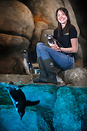 "Shannon Fletcher is the lead keeper of the African Penguins 17 bird colony at the Greensboro Science Center, Wednesday, April 13, 2014, in Greensboro, N.C.  Fletcher specializes in penguin husbandry and diet prep for the only permanent exhibit of African penguins in NC. The African penguin population has declined more than 60 percent over the past 30 years, and the species is now considered endangered. The Association of Zoos and Aquariums runs a ""species survival"" program among the nearly 50 facilities with African penguin colonies, including the Greensboro Science Center."