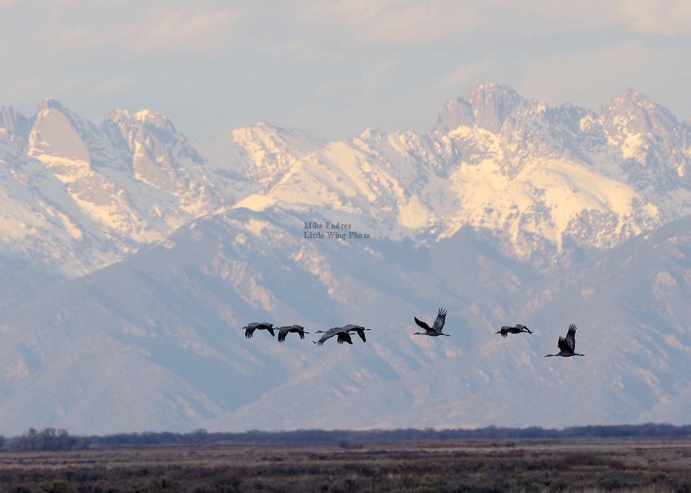 Sandhill Crane, Grus canadensis, Monte Vista NWR, Colorado
