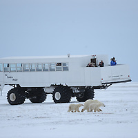 Shooting Polar Bears Cape Churchill, Alberta, Candad