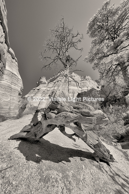 Fallen tree along the slit canyon at Kasha-Katuwe Tent Rocks National Monument.