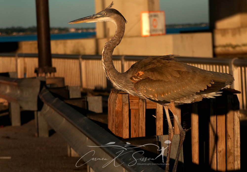 A heron perches on a guard rail at Florida Point fishing pier Nov. 12, 2009 in Orange Beach, Ala.The birds are so accustomed to humans, they strut between vehicles, looking for handouts. (Photo by Carmen K. Sisson/Cloudybright)