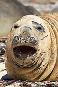 "Large male bull southern elephant seals are commonly called ""beach masters"" or ""lead seals"".  This male is in moulting phase and shedding its skin"