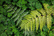 A pair of ferns grow over a carpet of clover on the forest floor in Bellevue, Washington. The darker fern is an American Alpine Lady fern (Athyrium alpestre); the brighter fern is a Western Sword fern (Polystichum munitum).