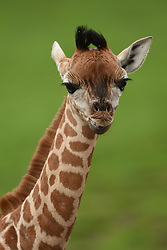 A nine-day-old Rothschild's giraffe calf explores its enclosure at West Midlands Safari Park in Bewdley, Worcestershire.