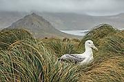 Southern Royal Albatross, Campbell Island, New Zealand