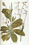 Hand painted botanical study of  Nicotiana undulata plant anatomy from Fragmenta Botanica by Nikolaus Joseph Freiherr von Jacquin or Baron Nikolaus von Jacquin (printed in Vienna in 1809)