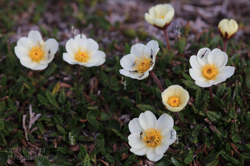 Mountain avens (Dryas octopetala) wildflowers bloom in July near Ny-Alesund, Svalbard, Norway.